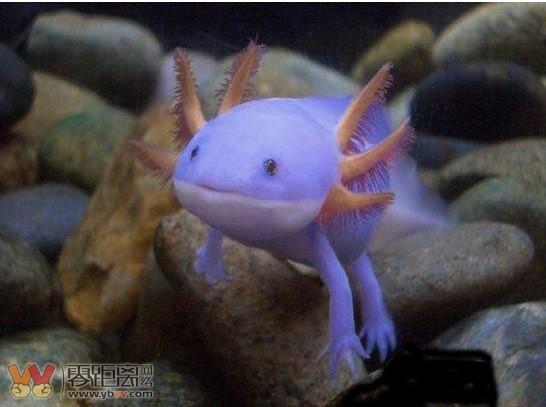 六角恐龙鱼